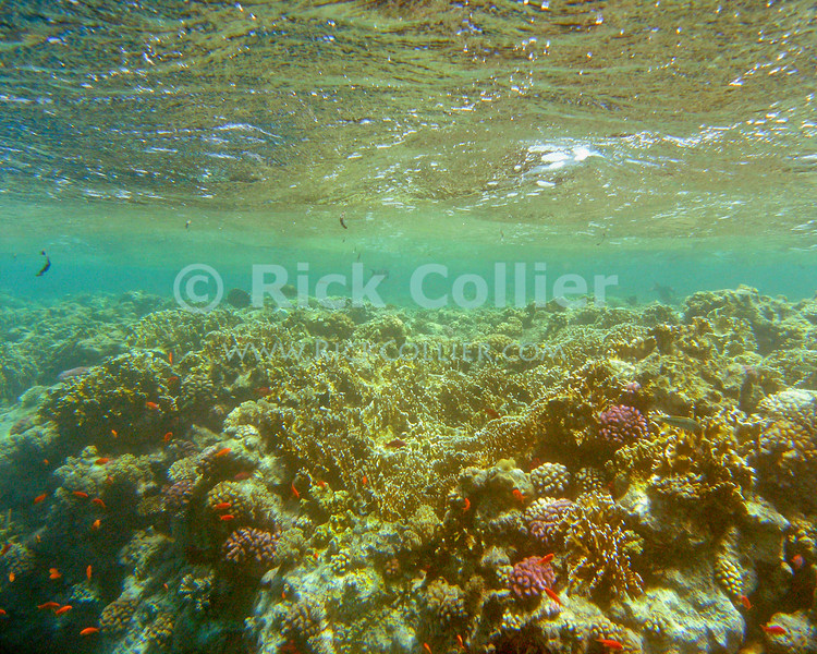 Red Sea, Sharm el-Sheikh, Egypt.  The reef rises to within inches of the ocean's surface, on pinacles off Ras Mohammed National Park.  © Rick Collier<br /> <br /> <br /> <br /> <br /> <br /> scuba diver divers Egypt 'Red Sea' 'Ras Mohammed' Sharm 'Sharm el-Sheikh' 'Sharm al-Shaykh' underwater u/w blue coral reef surface waves small fish