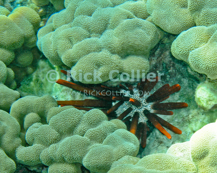 A pencil urchin nestles into a gap within coral.  Honaunau Bay, Kona side, the Big Island, Hawaii.<br /> <br /> <br /> <br /> <br /> <br /> Hawai'i Hawaii Honaunau Bay big island underwater snorkel snorkeling scuba u/w reef coral pencil sea urchin