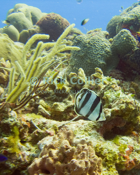 "A Banded Butterflyfish patrols the top of a reef that is full of life, including small fish and soft and hard corals.  Taken while Scuba diving at the ""San Clemente"" shallow dive site, off Cozumel, Mexico.  © Rick Collier"