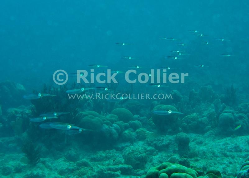 "Diving Bonaire, Netherland Antilles -- A school of reef squid paces the diver in the shallows.  (""Karpata"" dive site)  © Rick Collier<br /> <br /> <br /> <br /> <br /> Bonaire; ""Netherlands Antilles""; Caribbean; tropic; tropical; vacation; destination; scuba; diving; dive; ""scuba diving""; underwater; reef; ""Karpata""; squid; ""reef squid""; reef; shallow;"