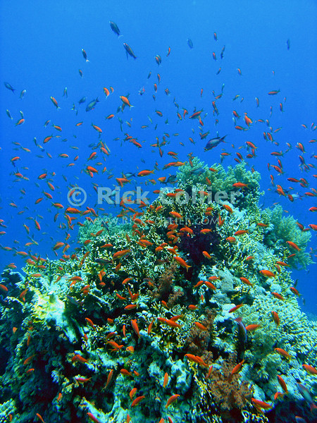 Red Sea, Sharm el-Sheikh, Egypt.  Clouds of small fish hover over the reef in Ras Mohammed National Park.  © Rick Collier<br /> <br /> <br /> <br /> <br /> <br /> scuba diver divers Egypt 'Red Sea' 'Ras Mohammed' Sharm 'Sharm el-Sheikh' 'Sharm al-Shaykh' underwater u/w blue coral reef fish orange scalefin anthias