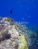 "Saba Underwater - As my scuba dive ended and I surfaced from the reef, I reveled in watching the fish life -- especially sergeant major fish -- that was so abundant in the sunlit shallower water at the top of ""tent reef"" © Rick Collier"