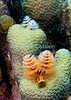 "Diving Bonaire, Netherland Antilles -- Christmas Tree Worms emerge from small coral formations.  (""Angel City"" dive site.)   © Rick Collier<br /> <br /> <br /> <br /> <br /> Bonaire; ""Netherlands Antilles""; Caribbean; tropic; tropical; vacation; destination; underwater; scuba; diving; dive; ""scuba diving""; reef; coral; ""coral head""; ""angel city""; worm; ""Christmas Tree Worm"";"
