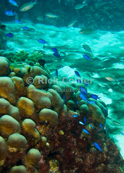 "Diving Bonaire, Netherland Antilles -- A school of blue chromis form a ribbon of color across the reef.  (""Angel City"" dive site)  © Rick Collier<br /> <br /> <br /> <br /> <br /> Bonaire; ""Netherlands Antilles""; Caribbean; tropic; tropical; vacation; destination; underwater; scuba; diving; dive; ""scuba diving""; reef; coral; ""coral head""; ""angel city""; fish; sand; bottom; chromis; ""blue chromis"";"
