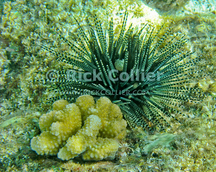A 'pregnant' long-spined sea urchin.  Note the egg cluster on one of the spines near the top center.  Kahaluu Bay, Kona side, the Big Island, Hawaii.<br /> <br /> <br /> <br /> <br /> <br /> Hawai'i Hawaii Kahaluu Bay big island underwater snorkel snorkeling scuba u/w reef coral long-spined sea urchin