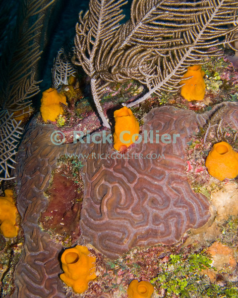 "Small orange tube sponges dot the reef around a small brain coral patch.  Taken while scuba diving the ""Sponges"" dive site of Roatan, Honduras.  © Rick Collier"