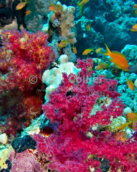 "Red Sea, Egypt -- Schools of Antheas swim among brightly colored soft corals. © Rick Collier / RickCollier.com.<br /> <br /> <br /> <br /> <br /> <br /> <br /> Egypt; ""Red Sea""; vacation; travel; destination; underwater; uw; ""u/w""; scuba; ""scuba dive""; ""scuba diving""; dive; diving; coral; reef; ""coral reef""; ""dive site""; Tiran; ""Tiran straits""; ""straits of Tiran""; ""Woodhouse Reef""; Woodhouse; ""soft coral""; fish; anthea; antheas"