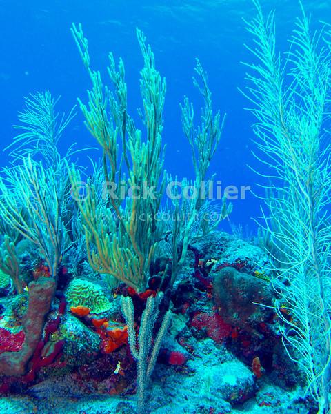 "Soft corals grown atop a reef.  St. Eustatius (Statia), Netherlands Antilles.<br /> <br /> <br /> <br /> <br /> ""St. Eustatius"" ""Saint Eustatius"" Statia Netherlands Antilles ""Lesser Antilles"" underwater SCUBA dive reef"