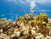 "Saba Underwater - A scuba diver below the level of the reef provides a bubble background to tropical fish and the sunlit reef as sergeantmajor fish patrol above the yellow tube sponges at ""tent reef.""  © Rick Collier"