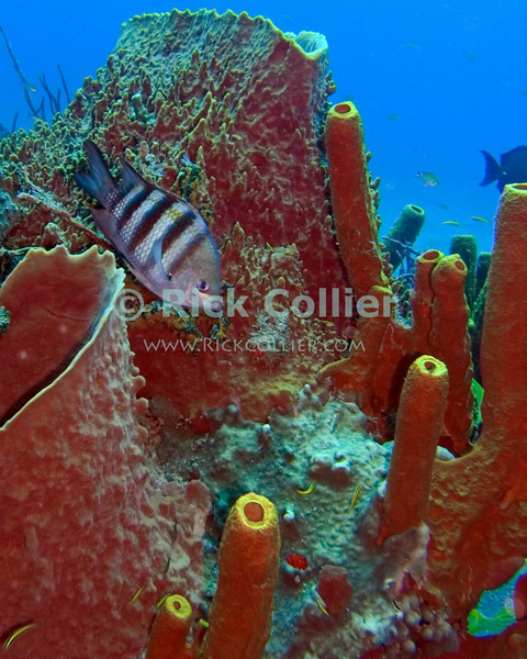 "A sergeantmajor fish hangs out between barrel and tube sponges.  St. Eustatius (Statia), Netherlands Antilles.<br /> <br /> <br /> <br /> <br /> ""St. Eustatius"" ""Saint Eustatius"" Statia Netherlands Antilles ""Lesser Antilles"" Caribbean underwater diving ocean SCUBA dive sand bottom seabed sea floor reef barrel sponge tube sponge coral sergeantmajor fish ""sergeant major fish"""