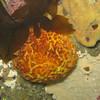 Orange Puffball Sponge (Monterey)