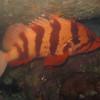 Tiger Rockfish