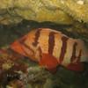 Tiger Rockfish<br /> Neah Bay, WA
