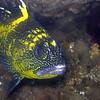 China Rockfish