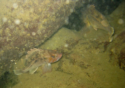 Rockfish of the Pacific Northwest
