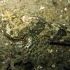Padded Sculpin<br /> Redondo 20090103