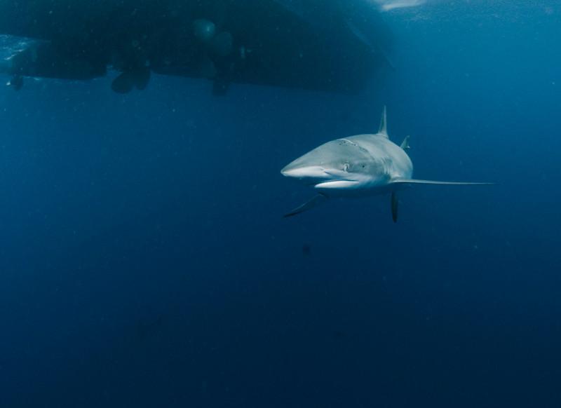 Galapagos Shark beneath the Ambar III