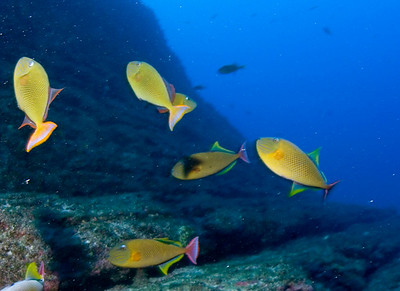 Red Tailed Triggerfish