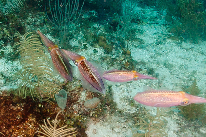 A small family of Caribbean Reef Squid.