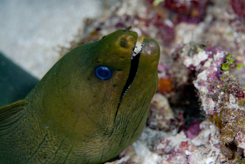 Green Moray Eel