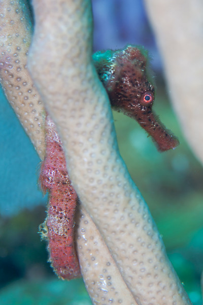 There seemed to be at least one seahorse on each dive.  Longsnout Seahorse.