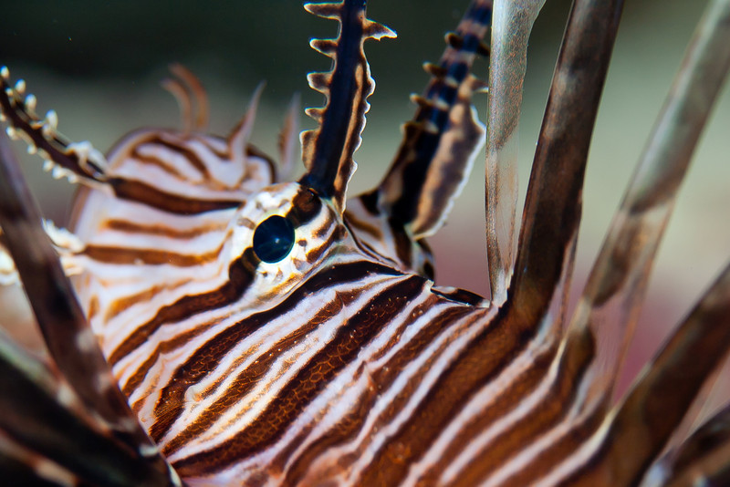 Another shot of the evermore ubiquitous Lionfish.