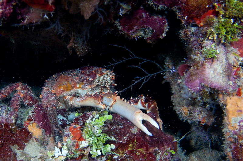 The reclusive areas of the reef were home to abundant lobsters and crabs.  Hairy Clinging Crab.