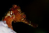 Longshout Seahorse