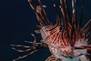 Lionfish were on every dive.