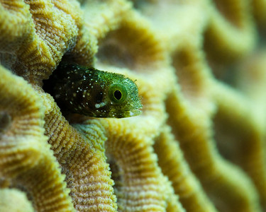 Secretary Blenny.  One of the coolest little fish out there.