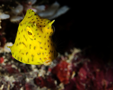 """Post-Larval Juvenile Scrawled Cowfish.  I really had to wait for this little beauty.  VERY shy.  Kept swimming around stuff to hide.  Finally, when I just stopped for awhile and waited, it came right back over to me and """"posed"""" for a couple shots."""
