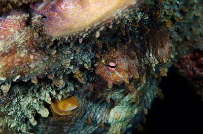 Good-sized Octopus hiding upside-down in some elkhorn coral