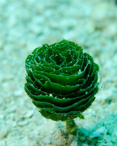 Pinecone algae
