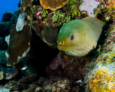 Beautiful Green Moray
