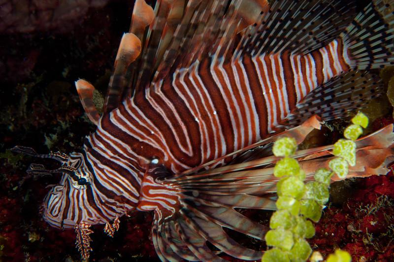 Volitans Lionfish (an invasive species)