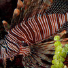 Volitans Lionfish (an invasive species)