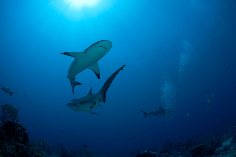 Carcharhinus Perezi