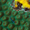 Neon Goby on Star Coral