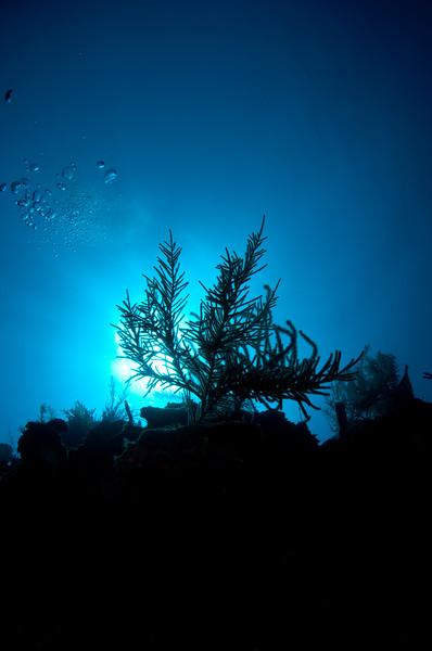 Backlit Gorgonian