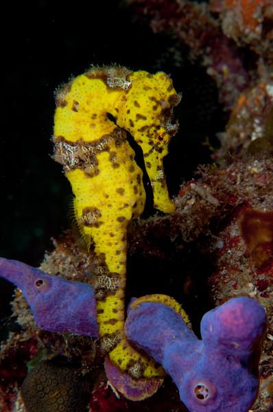 Longsnout Seahorse on Purple Sponge