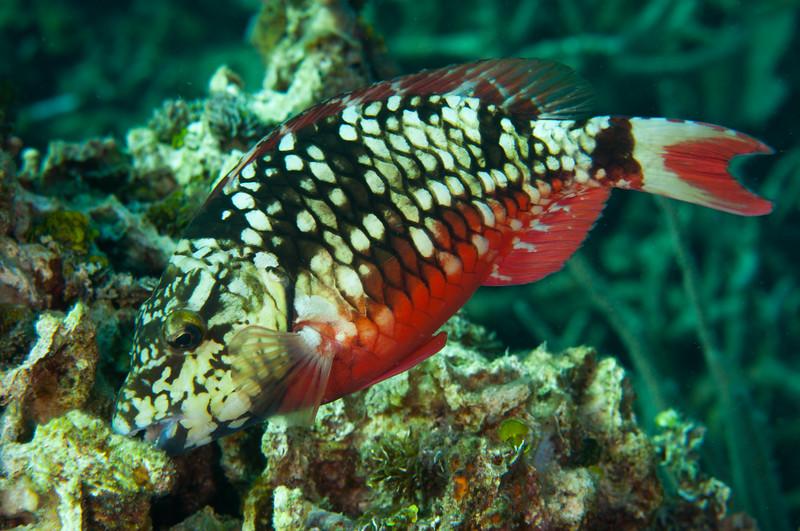 Stoplight Parrotfish (Initial Phase)