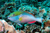 Redband Parrotfish<br /> Honduras_Roatan - Pirates Point 022404AM1