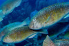 Redtail Parrotfish, initial phase<br /> Honduras_Roatan - Pirates Point 022404AM1