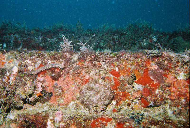 In the left third of the photo near the center you can see a fireworm.  This photo was taken on a wreck off the Florida cost near Pompano Beach.
