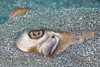 Southern Stingray