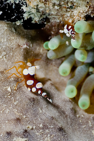 Squat Anemone Shrimp