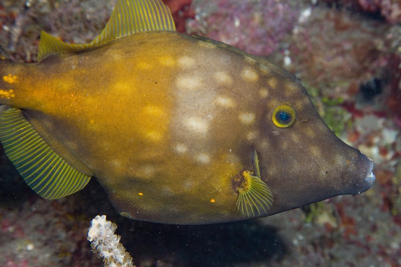 Whitespotted Filefish