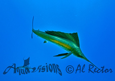 Sailfish6