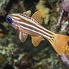 15-cardinal fish - split banded