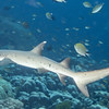 01-shark - whitetip reef